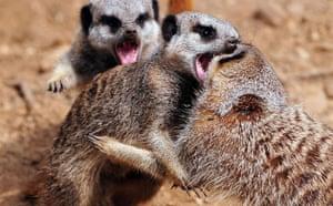 Week in Wildlife: Meerkats fight at Twycross Zoo
