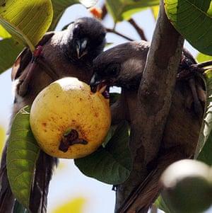 Week in Wildlife: A pair of Brown Mouse Bird feed on Guava fruit on a tree, in Nairobi, Kenya