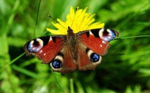 Week in Wildlife: A butterfly lands on a dandelion