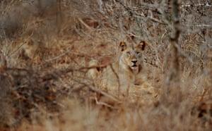 Week in wildlife: KENYA-LIONS-ENVIRONMENT