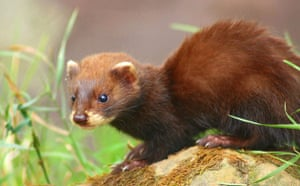 Week in wildlife: Wild Ferrets Are Spreading Throughout the Island of La Palma