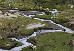 Week in wildlife: Llamas graze in a valley at the base of the Sajama