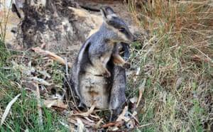 Week in wildlife: black-footed rock wallaby, Australia