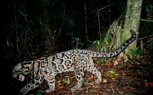 Week in wildlife: A rare sighting of a Clouded Leopard, Sumatra, Indonesia