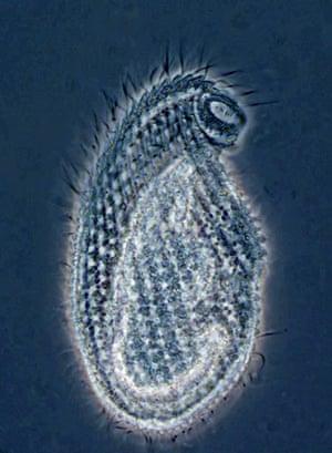 Census Marine Life: Census of Hard-to-See Marine Life : Cryptopharynx