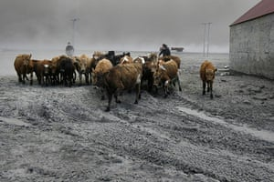 Volcano in Iceland: Farmers rescue cattle from exposure to the volcanic ash in Nupur