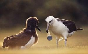 Top 10 Ecocides: Laysan Albatross Carrying Bottle Cap