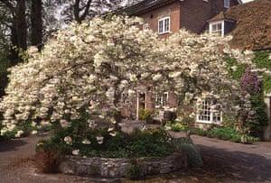 Trees for small gardens: Japanese flowering cherry