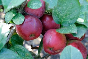 Trees for small gardens: Spartan eating apple