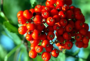 Trees for small gardens: Mountain ash