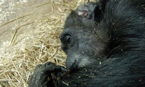 Chimpanzee Pansy the morning after she died