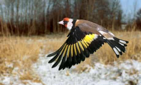 The European goldfinch in flight.