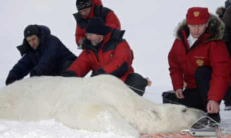 russian prime minister vladimir putin assists in polar bear research