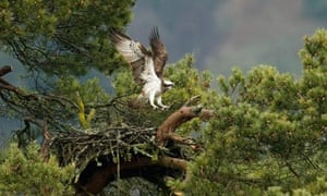 A female Osprey returns to its nest in Loch of Lowes, Dunkeld, Perthshire, Scotland