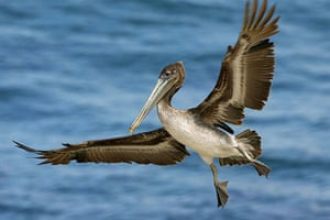 Wildlife: A brown pelican