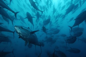 Wildlife: Bluefin tuna