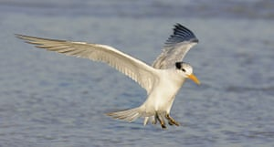 Wildlife: Royal Tern