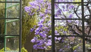 show and tell: Nyman: jacaranda tree