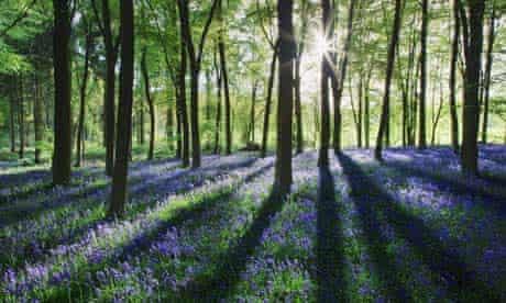 Bluebells at dawn, Micheldever Woods, near Winchester, Hampshire.