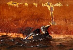 Deepwater Horizon: Gulf Oil Spill Begins To Reach Land : An oil soaked bird