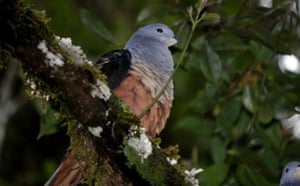New species: Imperial pigeon, Foja Mountains, Indonesian island of New Guinea