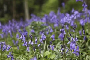 Bluebells: Rhys Thomas Fowler: Penglais Woods, Aberystwyth