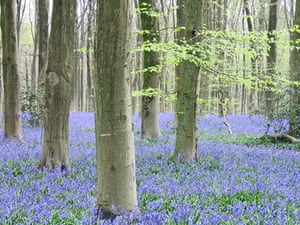 Bluebells: Wol Balston: West Woods near Malborough in Wiltshire