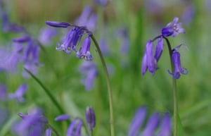 Bluebells: Chas Leslie: Birchall's Wood, nr Ridgmont, Bedfordshire