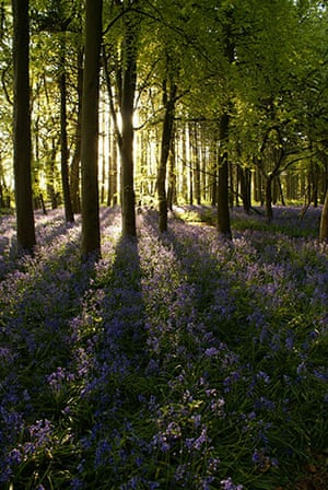 Bluebells: Robin Capel-Dinn: Catmere End, Essex