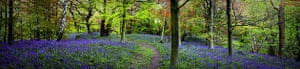 Bluebells: Chris Dolby: Middleton Woods, Ilkley, West Yorkshire