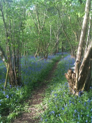 Bluebells: Kate Wilson: Turnham Wood, Spirthill, Wiltshire
