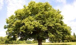 """Sycamore tree """