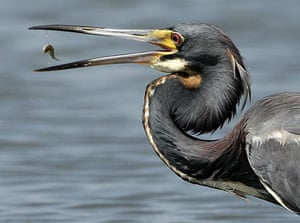 24 hours in pictures: Venice, US: A tricolored heron catches a fish