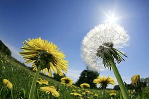 24 hours in pictures: Prisdorf, Germany: Dandelions blossom in a field