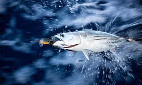 tuna struggling on fishing hook
