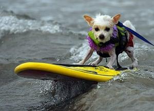 Loews Coronado surf: The 5th annual Loews Coronado bay resort surf dog competition