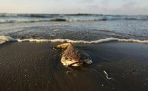 Update oil spill: Deepwater Horizon oil spill: dead fish