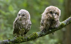 Week in wildlife: Tawny owl chicks sit on a tree branch  in a forest near village of Uzda
