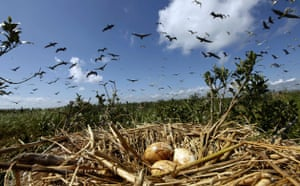 Week in wildlife: Pelicans fly past nest of eggs on an island off the the coast of Louisiana