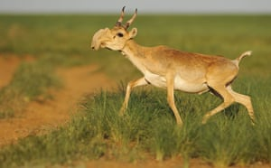 Week in wildlife: A male saiga in the steppe of Cherniye Zemly