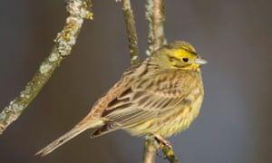 Yellowhammer sits on a tree branch