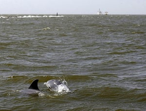 Deepwater Horizon oil rig: Oil spill affects wildlife: dolphins surface, Gulf of Mexico