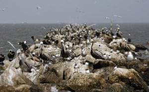 Deepwater Horizon oil rig: Oil spill affects wildlife: brown pelicans and sea gulls, Gulf of Mexico