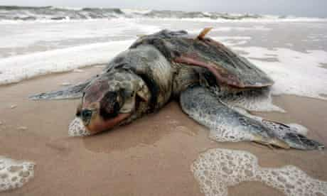 A dead sea turtle washed ashore at Pass Christian, Mississippi