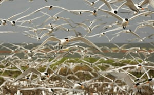 Deepwater Horizon oil rig: Oil spill : Birds fly over nesting birds on Breton Island