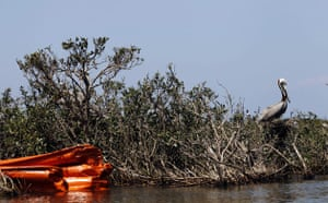 Deepwater Horizon oil rig: Oil spill : A pelican with protective boom, Chandeleur Islands