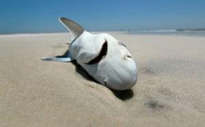 Deepwater Horizon oil rig: Oil spill Reaches Louisiana Gulf Coast : A dead shark