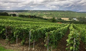 Vineyard with grapevines, Reims, Champagne, France