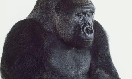 penis gorilă)