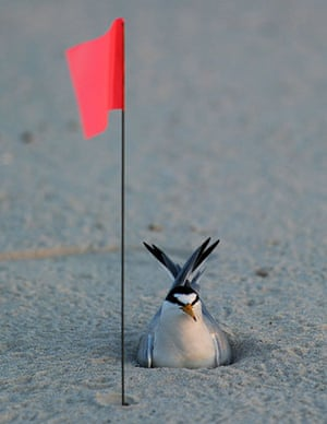 Deepwater Horizon oil rig: Oil spill reaches Louisiana coast : A least tern sits in its nest